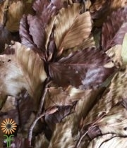 Dried Brown Copper Beech