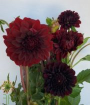 Burgundy Field Dahlias