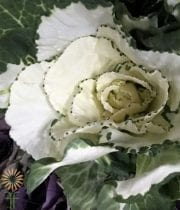White And Green Cabbage Rosettes