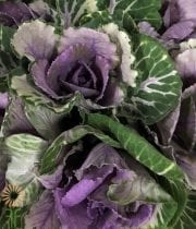 Purple And Green Cabbage Rosettes