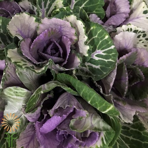 wholesale flowers | cabbage purple