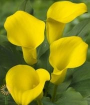 Yellow Mini Callas