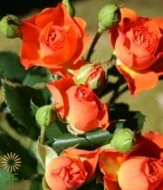 Rose, Spray CA-Babe-orange