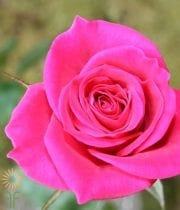 Hot Pink Broadway Sweetheart Roses