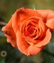 Orange Chelsea Sweetheart Roses