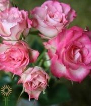 Pink And White Electra Spray Roses