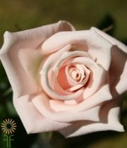 Pink Esther Sweetheart Roses
