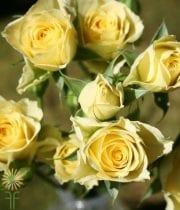 Yellow Flair Spray Roses