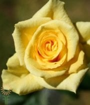 Yellow Frisco Sweetheart Roses
