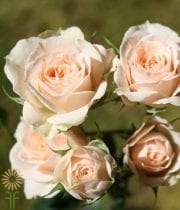 Cream Jana Spray Roses