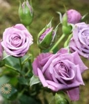 Lavender Follies Spray Roses
