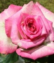 Pink And White Lucky Rose