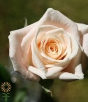 Peach/Salmon Medeo Sweetheart Roses