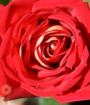 Red And White New Fashion Roses