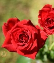 Red Mikado Spray Roses