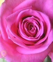 Hot Pink Rhapsody Rose