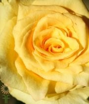Yellow Suela Roses