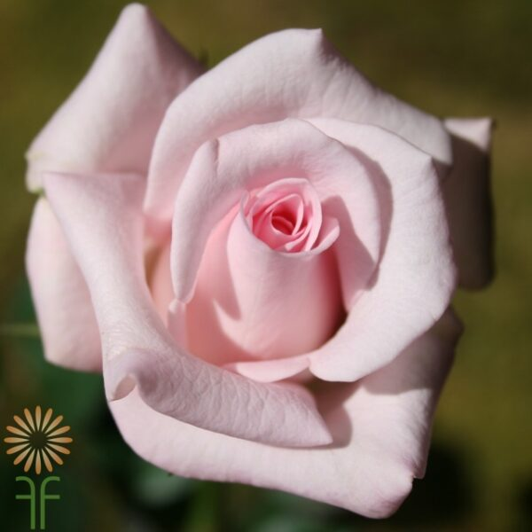 wholesale flowers | rose sweet akito