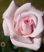 Light Pink Sweet Akito Rose