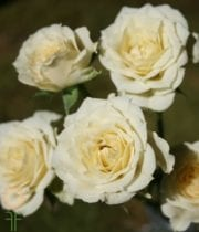 Cream Vanilla Bouquet Spray Roses