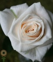 Rose, S.A.-Vendella 50CM-cream