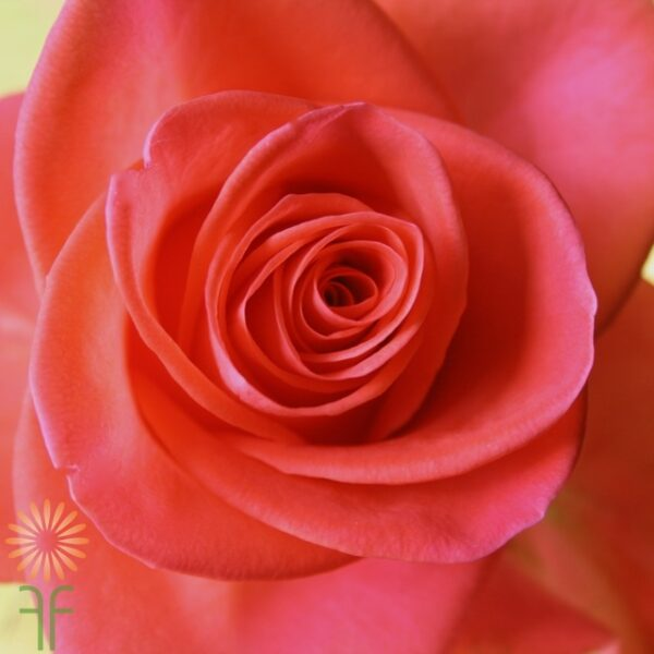 wholesale flowers | rose wow