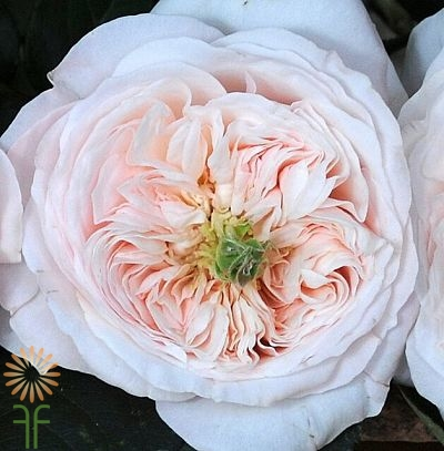 wholesale flowers | garden rose charity
