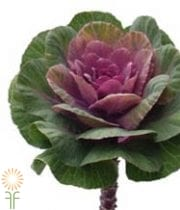 Pink And Green Cabbage Rosettes