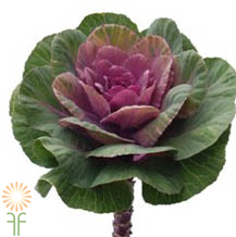 wholesale flowers | Cabbage_Rosette_pink