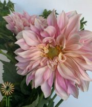 Blush Cafe Au Lait Dahlias