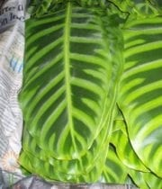 Zebrina Calathea Leaves