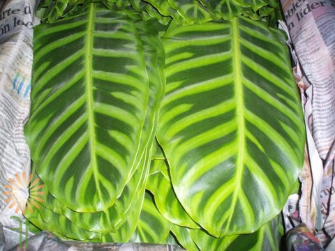 wholesale flowers | calathea leaf zebrina