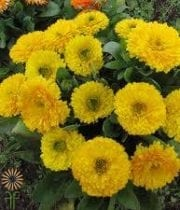 Calendula-yellow