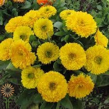 wholesale flowers Callendula-yellow