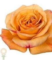 Orange/Gold Capriccio Roses