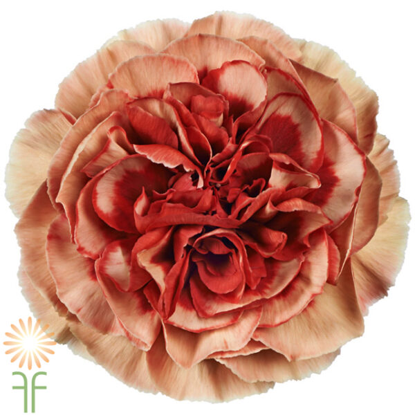 wholesale Carnation-Fabulous