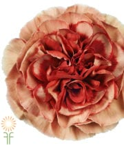 Carnations, Specialty-Faboluos-dusty Pink