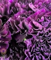 Carnations, Moonshade-purple