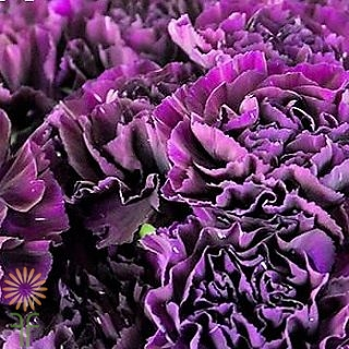wholesale carnation purple