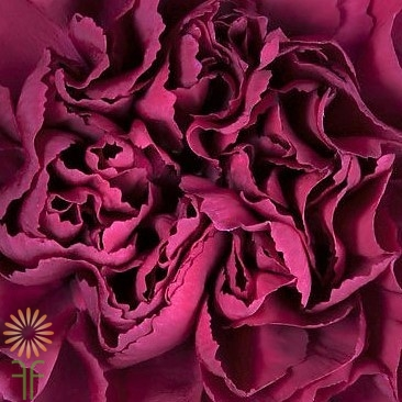 wholesale carnation Carnation_Burgundy