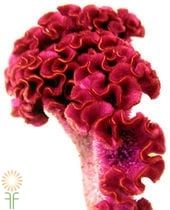 Celosia, Bombay-pink