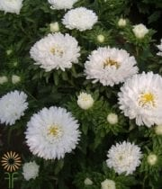 White Matsumoto Asters
