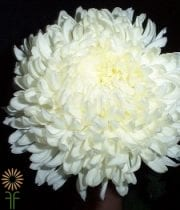 White Disbud China Mums