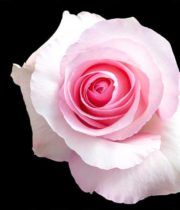 Pink Christa Roses