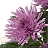 Lavender Spider Spray Mums