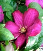 Wholesale Flowers | Clematis-fuchsia