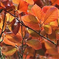 wholesale copper beech red