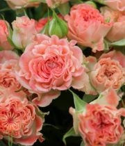 Coral Fiesta Spray Roses