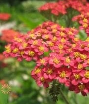 Red Cottage Yarrow
