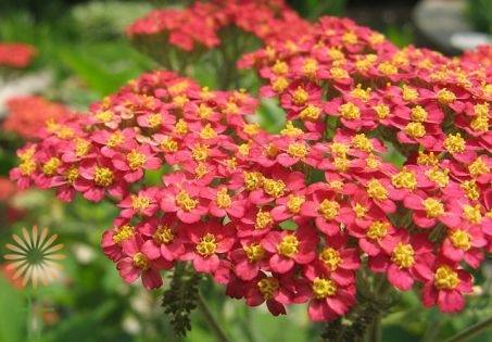 wholesale flowers | yarrow red